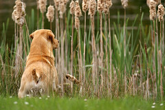 Gundogs at Pond Meadow (jane currie) Tags: dog reeds golden pond gun labrador working meadow alert retrieve bullrush gundogs