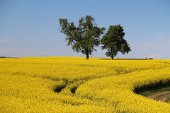 Springtime in Upper Austria (Been Around) Tags: trees sky tree nature field yellow austria sterreich spring europa europe track natur tracks feld eu bluesky natura gelb raps baum obersterreich europeanunion autriche austrian frhling aut rapsfeld o upperaustria badhall rapeseedfield traktorspur a sierning hauteautriche concordians thisphotorocks expressyourselfaward pesendorf rapsfeldbeipesendorf pesendorfbeisierning springtimeinupperaustria