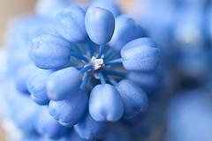 DSC_5466 Blue Grape (robsm) Tags: flowers flower nature floral beauty rain fauna garden petals drops spring nikon flickr colours seasons robsm