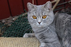 025 (piaktw) Tags: cat garden eyes copper britishshorthair coppereyes got luddkolts gotalnwick