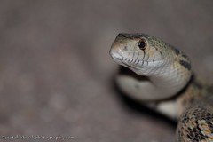 Gopher Snake Grin (CrotalusfreakPhotography) Tags: wild arizona southwest nature beauty animal animals landscape photography desert reptile snake wildlife gorgeous awesome western wilderness rattlesnake animalplanet herp southwestern herpetology nontoxic pituophis nonvenomous desertscape herping sonorangophersnake pituophiscateniferaffinis