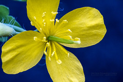 Flavus (Cash Valley Photography & Imaging) Tags: flower yellow weed maryland lavale alleganycounty canoneos7d canonef100mmf28lisusmmacro