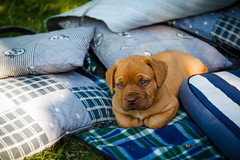 Is there anything I can help you with, sir..? (pattcatz) Tags: dog puppy bordeaux z pup fotografia tamron maciej maciek dogue szczeniak doguedebordeaux cybulski bordeauxdog canoneos60d pattcatz