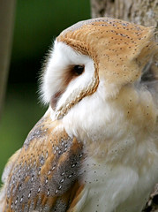 Wiggy again! (Trev Earl) Tags: canon wildlife barnowl wildbird 50d feathersandfur