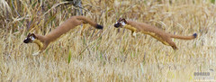 O.K. Just one more...Long-tailed Weasel, Mustela frenata, Bounding out of the bushes pano. Montana de Oro State Park, California (Donald Quintana) Tags: california park wild cute animal de mammal jumping furry montana state wildlife adorable weasel predator oro longtailed mustela parkquot frenata quotwild animalquot quotmontana weaselquot photoofthedaynwf12 quotmustela frenataquot quotlongtailed
