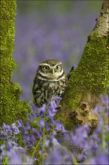 Little Owl (Scrappy) (Craig Lindsay 2112) Tags: little wildlife centre surrey owl british scrappy