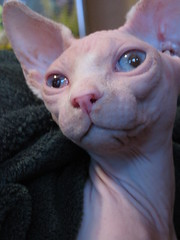 Sphynx Cat (Lady Muir) Tags: old pink cats sphinx cat hair naked nude fur kitten fuzzy no bald kittens sphynx hairless wrinkles wrinkle less furr fuz