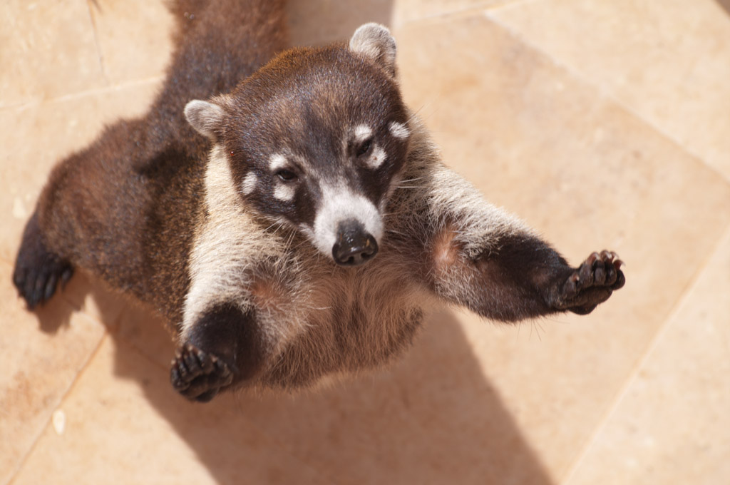 Feeding the coatimundi at the Moon Palace - YouTube