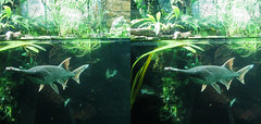 3D zoo aquarium fish (3D shoot) Tags: fish bristol zoo aquarium 3d underwater stereo parallel stereoscope 3dshoot