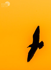 Silueta.- (Rodrigo Ortega) Tags: chile sunset bird contraluz atardecer ave dominicana silueta gaviota larus concn dominicanus sigma70300mmdgmacro nikond5000 parqueecologicolaisla rodrigoortega wwwrodrigortegacl