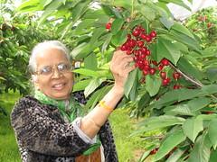 Cherry Picking-13.01 (davidmagier) Tags: portrait usa fruit newjersey cherries princeton mataji