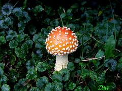 Aminita (Picsnapper1212) Tags: nature fungus aminita mushrrom aminitamuscaria