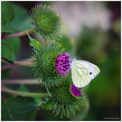 A cabbage white butterfly on a thistle (John Riper) Tags: white butterfly john cabbage distel 1755 thisle koolwitje johnr 50d riper