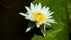 Water lily (ddsnet) Tags: plant flower waterlily sony taiwan   taoyuan aquaticplants  nex        lily water  mirrorless   nymphaeatetragona    nymphaea plants   newemountexperience nex7 aquatic nymphaea tetragona tetragona