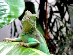 Goede morgen/good morning (Gerda Le Blanc) Tags: nature animal zoo leguaan artis