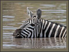 Cooling off! (Rainbirder) Tags: kenya ngc npc maasaimara grantszebra plainszebra equusquaggaboehmi rainbirder