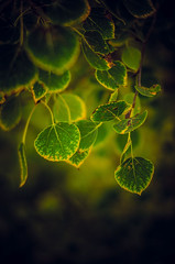 The Whispers of Summer Green Pass into the Golds of Autumn . (LornaTaylor) Tags: autumn light green fall leaves lensbaby gold leaf nikon september lensbabies composer lornataylor leafplay d5100 edge80 taylorimagesca copyrightedlornataylor2013
