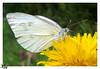 butterfly (Emad AL-Saif) Tags: travel macro green eye art love colors animal photographer wildlife samsung kuwait q8 flickrsbest mywinners anawesomeshot colorphotoaward diamondclassphotographer excapture kuwaitartphoto emadalsaif alsaif galaxycamera