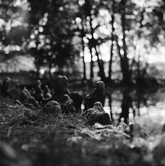 Roots (emanuele_f) Tags: parco 6x6 tlr film playground mediumformat square blackwhite pond kodak availablelight 14 roots radici biancoenero parri quadrato vigevano laghetto trix400 medioformato yashica12 ultrafinplus biottica