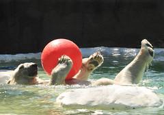 IMG_5821 (sandy richard) Tags: newyorkcity animals bears polarbear bronxzoo zoos animalsplaying sandyrichard sandrarichard