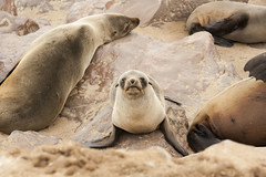 Sea Lion Cub (Fr4nchito) Tags: africa winter portrait animals cub afrika sealion inverno namibia ritratto animali cucciolo otarie capecross