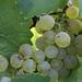 Jordan Harvest 2013 Chardonnay.JPG