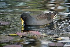 Moorhen (Jellibat) Tags: bird duck pond australia victoria botanicalgardens warrnambool duskymoorhen