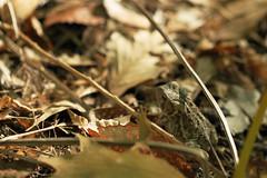 (miacelestelee) Tags: autumn macro fall frog toad