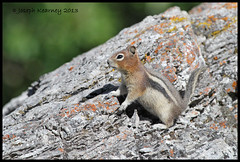 Golden Mantled Ground Squirrel (JosephK2012) Tags: animal animals kananaskis squirrel ab alberta goldenmantledgroundsquirrel