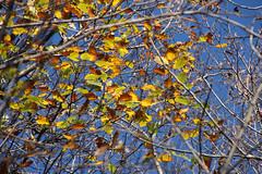Fall Oak (marinela 2008) Tags: november autumn sky colour tree fall nature colors leaves forest oak
