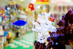 Sapphire Devil and Clownfish /  (Dakiny) Tags: winter fish animal animals japan square photo december sony cybershot clownfish photograph yokohama  kanagawa    tropicalfish  tokyu   carlzeiss  aobadai 12   denentoshiline aobaward  2013  rx100 kanagawaprefecture   yokohamacity    aobadaistation   sapphiredevil 2013 dscrx100 sonycybershotdscrx100 vision:flower=0649 vision:plant=0559