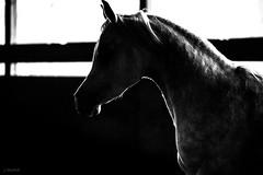 (Jen MacNeill) Tags: horses horse grey gray arabian equine roze arabians jennifermacneilltraylor jmacneilltraylor jennifermacneill jennifermacneillphotography