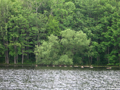 Distant Canadian geese (Coyoty) Tags: trees summer lake green bird water birds animal fauna forest geese pond woods connecticut wildlife ct goose canadiangeese waterfowl derby animalplanet brantacanadensis avian osbornedalestatepark pickettspond