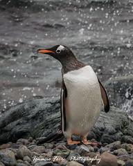 Its rainning (Ignacio Ferre) Tags: bird penguin antarctica ave pingino antrtida gentoopenguin pygoscelispapua pinginopapa pinginojuanito