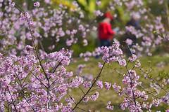 Kawazu cherry in Taiwan (photor432) Tags: roc taiwan  cherryblossom sakura  csh  kirschblte   krsbrsblom kersenbloesem  flordecerejeira   fioridiciliegio  flordecerezo fleurdecerisier hoaanho bungasakura       kawazucherry  cshblack432 cherrybunga