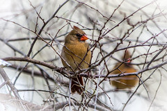 Northern Cardinals (Lallee) Tags: winter bird nature female canon cardinal florida northern