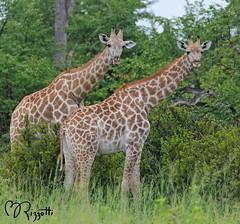 "Southern Giraffe ""Seeing Double"" (girlslens) Tags: africa giraffe botswana linyanti southerngiraffe"