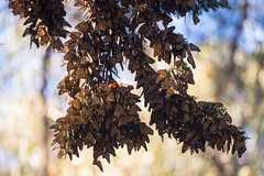 Monarch butterflies (fascinationwildlife) Tags: california wild usa beach nature america butterfly insect grove wildlife natur monarch migration pismo schmetterling monarchfalter