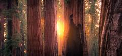 Mariposa Grove of Giant Sequoias (Kingpoby) Tags: california park tree forest national yosemite mariposa sequoia groves wawona