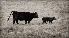 March (Bamagirl7) Tags: blackandwhite grass cow pasture calf msh0314 msh031418