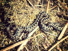 European Adder - Vipera berus (billwilkin89) Tags: cameraphone uk summer england black english nature animal animals nationalpark spring europe european britain reptile snake wildlife devon scales moors british serpent wilderness viper snakes dartmoor herp reptiles adder moorland herpetology vipera berus burrator flickrandroidapp:filter=mammoth
