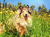 daisies2 (Hermio-Black) Tags: dog pet black dogs nature field cane collie candy sierra lassie hermione thelittledoglaughed hermio