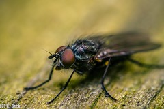 A fly / Fliege (just_me78) Tags: macro nature animals closeup insect tiere fly natur makro insekt fliege gx7