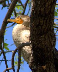 Cormorant in Tree (JTGYK) Tags: tree bird canon perch cormorant usm ef roost 100300mm f4556 juvinile