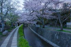 "Cherry Blossoms of ""Path of Philosophy"", Kyoto /  (Kaoru Honda) Tags: city nature japan cherry landscape japanese spring nikon kyoto traditional      pathofphilosophy  higashiyama         d7000"