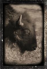 Daguerreotype Effect - American Bison (Adventurer Dustin Holmes) Tags: buffalo daguerreotype bison americanbison