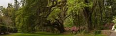 Live Oaks and Azaleas (Laurie-B) Tags: usa sc america us spring oak nikon unitedstatesofamerica north southcarolina charleston american northamerica domain afternoonlight 2014 magnoliaplantation angiospermae northamerican floweringplants angiosperms dicots dicotyledons beechfamily vascularplants seedplants fagaceaefamily magnoliophytadivision magnoliopsidaclass fagalesorder plantaekingdom tracheobiontasubkingdom lpbrice southernliveoakquercusvirginiana spermatophytasuperdivision hamamelididaesubclass quercusgenus