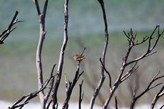 Little Wren (Ashton Edgley) Tags: ocean cute bird little australia nsw wren twigs