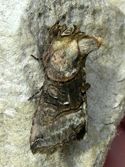 Moth: Spectacle (dugwin2) Tags: from trap spectacle the abrostola tripartita