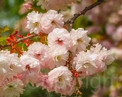 Cherry Blossoms at the New York Botanical Garden, Bronx, New York City (jag9889) Tags: nyc newyorkcity usa ny newyork flower garden spring unitedstates blossom bronx unitedstatesofamerica landmark thebronx botanicalgarden nybg newyorkbotanicalgarden 2014 bronxpark allamericacity jag9889